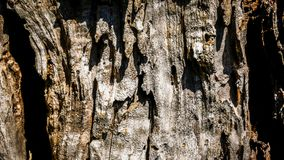 Bark of olive tree Stock Images