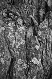 Macro of a bark of  tree in black and white creates an abstract Royalty Free Stock Images