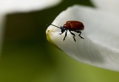 Macro of a beatle Royalty Free Stock Images