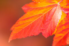 Macro of Beautiful Autumn leaves on defocused  background Stock Images