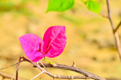 Macro beautiful bougainvillea flower Stock Photo