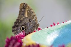 Macro of a beautiful brown butterfly on a green leaf from the si royalty free stock photos