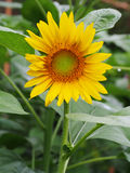 Macro beautiful and colorful of sunflower. Nature concept Royalty Free Stock Images