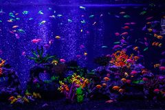 Macro beautiful fish glo tetra fish danio rerio stock photography