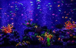 Macro beautiful fish glo tetra fish danio rerio stock photos