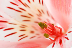 Macro beautiful flower. To the background image with a blurred background Royalty Free Stock Photography