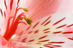 Macro beautiful flower. To the background image with a blurred background Royalty Free Stock Photo