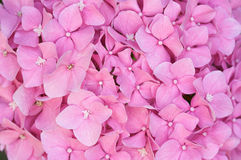 Macro - Beautiful Hydrangea Blossoms Royalty Free Stock Image
