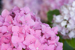 Macro - Beautiful Hydrangea Blossoms Stock Images