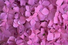 Macro - Beautiful Hydrangea Blossoms Royalty Free Stock Images