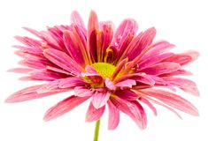 Macro of an isolated pink aster flower blossom Royalty Free Stock Photography