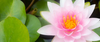 Macro beautiful lotus Stock Photography