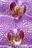 Macro of a beautiful orchid royalty free stock photo
