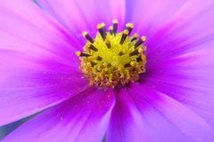 Macro of beautiful pink daisies flowers Royalty Free Stock Photography