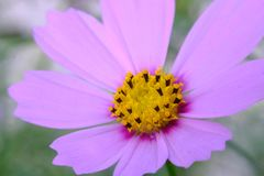 Macro of beautiful pink daisies flowers Stock Photography