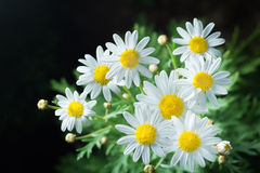 Macro of beautiful white daisies flower in garden for texture ba Royalty Free Stock Images