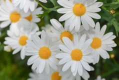 Macro of beautiful white daisies flowers Stock Photos