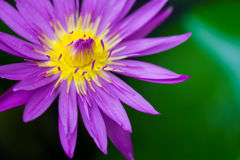 Macro beautiful yellow and pink lotus closeup with blur background Stock Images