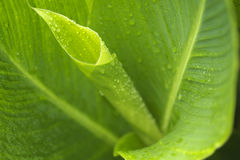 Macro Beauty of Canna Leaves Royalty Free Stock Photo