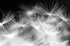 Macro beauty dandelion. Details black and white royalty free stock photos