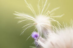 Macro beauty dandelion Stock Photography