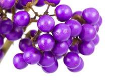 Macro of beautyberry bush Stock Images
