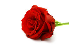 Macro of the beautyful red  rose Stock Images