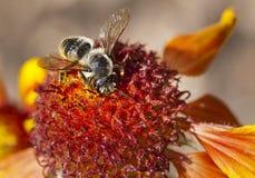 Macro Bee Stock Images