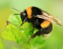 Macro Bee stock photos