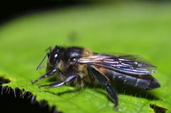 Macro of bee Royalty Free Stock Photography
