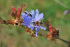 Macro bee on a blue flower. Close-up of two yellow bees in nature Royalty Free Stock Image