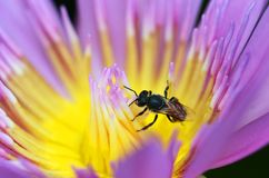 Macro of bee collect yellow pollen from purple lotus. A Macro of bee collect yellow pollen from purple lotus royalty free stock photos
