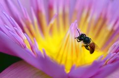A Macro of bee collect yellow pollen from purple lotus. A closeup of bee collect yellow pollen from purple lotus royalty free stock photo