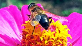Macro of a bee collecting pollen on a decorative garden flower z royalty free stock image