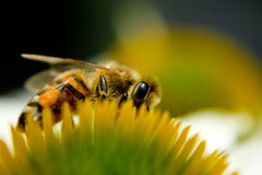 Macro bee on flower Royalty Free Stock Photography