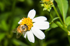 Macro of Bee on flower Royalty Free Stock Photos