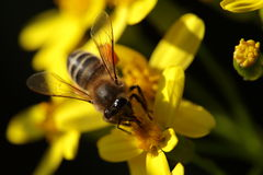 Macro of a bee on a flower. Bee on a yellow flowers royalty free stock photo