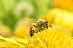 Macro of bee with fresh flowers. Close up of beautiful flowers with bee in sunny day.natural background stock photo