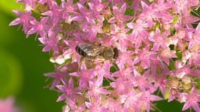 Macro of bee gathering pollen. Top view. Bee collects nectar on blossom pink flower with many pollen. Macro of bee gathering pollen from Milkweed in field. Top stock video footage