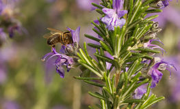 Macro of bee gathering rosemary pollen Royalty Free Stock Image