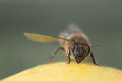 Macro on bee head. On green background Royalty Free Stock Photography