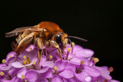 Macro of bee on inflorescence Stock Photography
