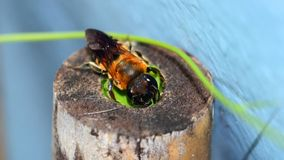 Macro of bee make nest on bamboo. A macro of bee use leaf make nest on bamboo royalty free stock image