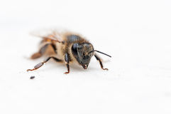 Macro of bee. Bee placed on white marble table Royalty Free Stock Photos