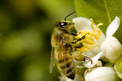 Macro bee with pollen. Bee gathering pollen from white flower stock image