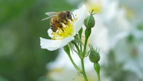 Macro of a bee pollinating a white flower. Macro close up of a bee pollinating a white flower stock video