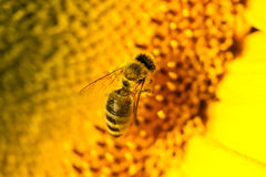 Macro bee Stock Images