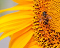 Macro of bee on sunflower. Bee extracting pollen from sunflower Stock Images