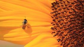 Macro of bee on sunflower Stock Photography