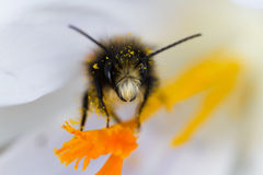 Macro of a bee on a white crocus Stock Photo